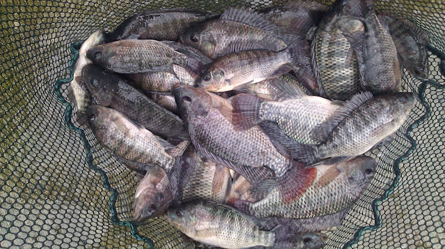 Surprising Reasons Why Eating Farm-Raised Tilapia Is Not Good For Your Health!