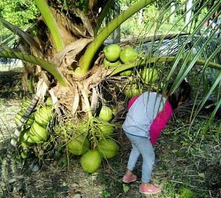 Bibit tanaman unggul – Tanaman kelapa kopyor pada mulanya ditanam secara alami, yaitu menumbuhkan tunas bibit baru dari buah kelapa kopyor. Seiring perjalanan, tanaman kelapa kopyor selain dapat diperbanyak secara konvensional melalui biji, bisa juga menggunakan sistem pembibitan dengan cara kultur jaringan. IPB adalah sebagian instansi yang melakukan mengembangkan tanaman kelapa kultur jaringan. Hasilnya buah kelapa kopyornya mampu mencapai 90 sampai 100 persen. Kelapa kopyor genjah cepat berbuah.