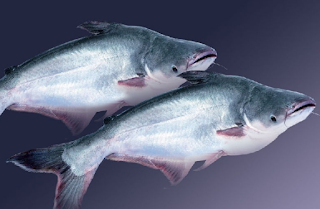 k diperoleh data mengenai besarnya seruan konsumsi ikan patin PELUANG USAHA BETERNAK IKAN PATIN