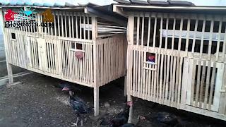 Persiapan Kandang Budidaya Ayam Kampung