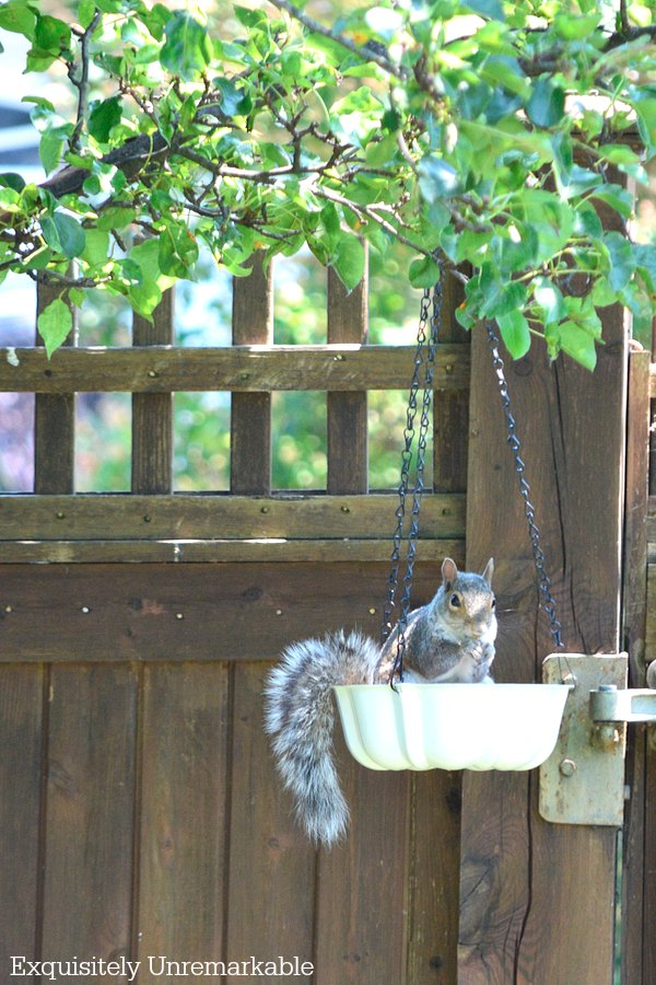 Squirrel In Bird Feeder hanging from tree