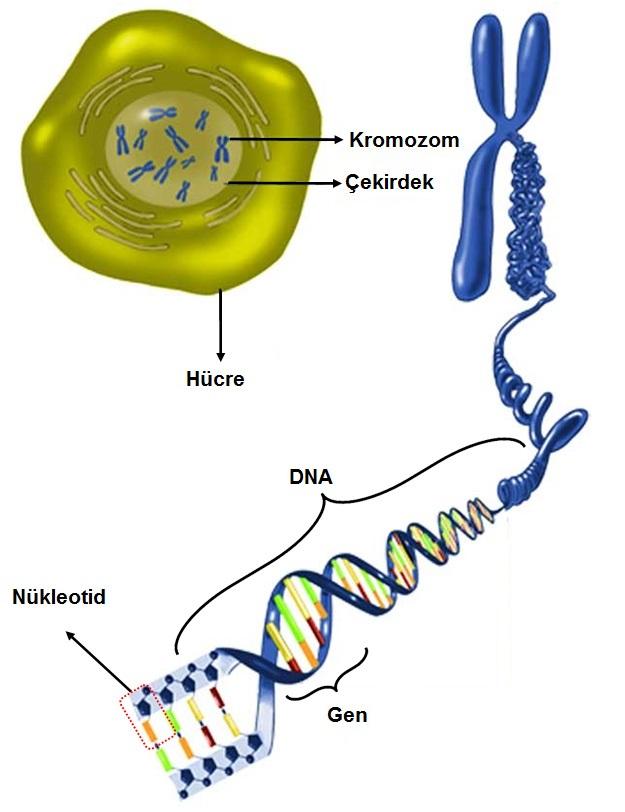 8.Sınıf DNA ve Genetik Kod Konu Anlatımı - fenbilim.net
