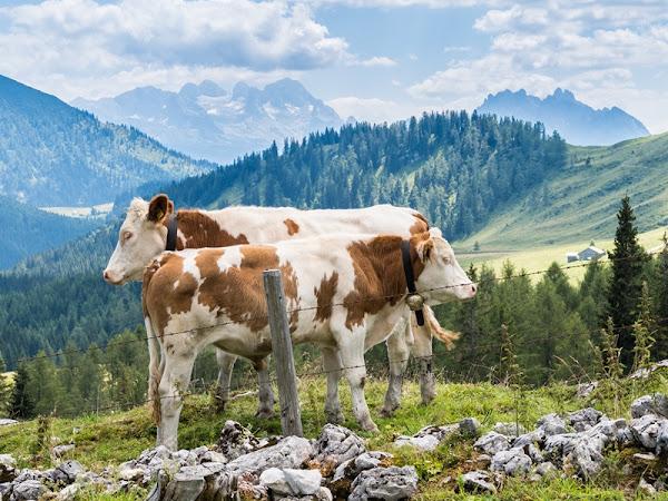 Wandern auf der Postalm - Pitschenbergalmhütte und Labenbergalm