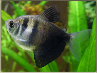 Black Tetra Fish Pictures