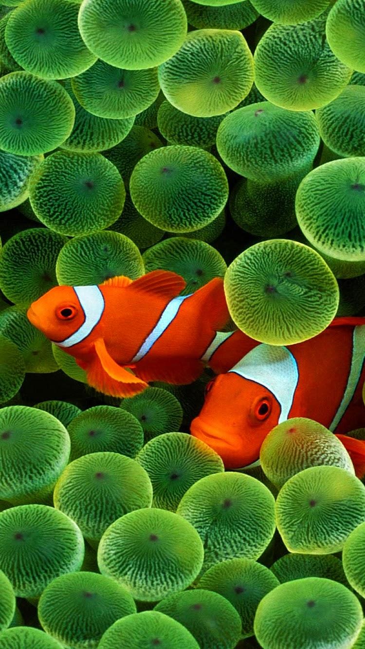 Free Wallpaper Phone Iphone 6 Clown Fish