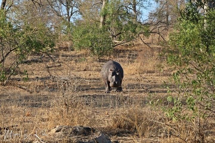Hipopótamo-S4-Paul-Kruger-Gate
