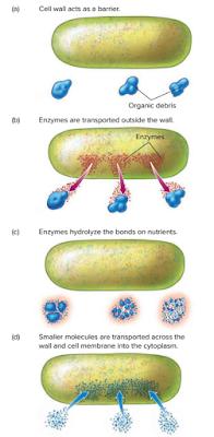 Heterotrof dan autotrof, reaksi enzimatis, bakteri, bakteri saprobic