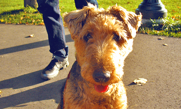 Lovely Welsh Terrier dog walking in Lafontaine Park