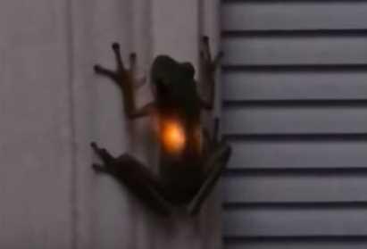 Aneh! Perut Katak Ini Mengeluarkan Cahaya