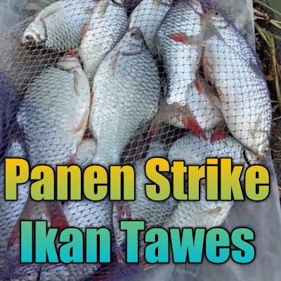 umpan ikan tawes pakai tekhnik pancing ombyok di jamin bakal dapat banyak