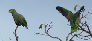 Kawall's Parrot