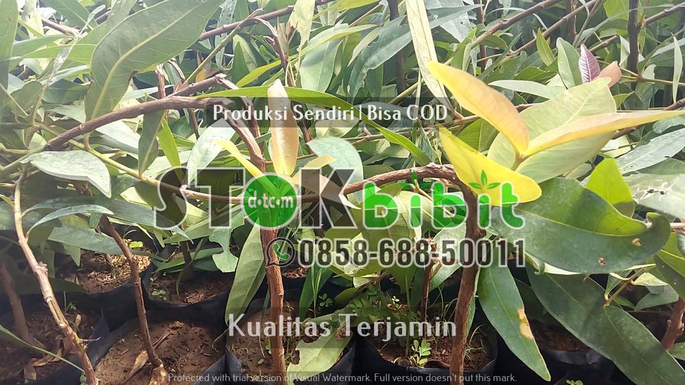 Okulasi Bibit Jeruk Lemon Eureka/Australia    Grosir     berkualitas