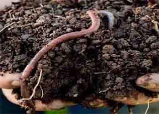 earthworm organic fertilizer composting