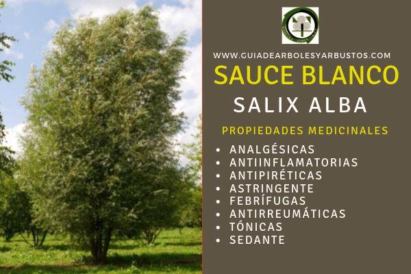 Las propiedades del Sauce blanco, Salix alba, son conocido de todos, fruto, hojas, corteza tienen virtud estíptica