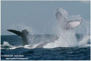 https://ailesetvie.blogspot.com/search/label/baleine%20%C3%A0%20bosse%20-%20Megaptera%20novaeangliae