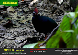 Crested Partridge/Brunei