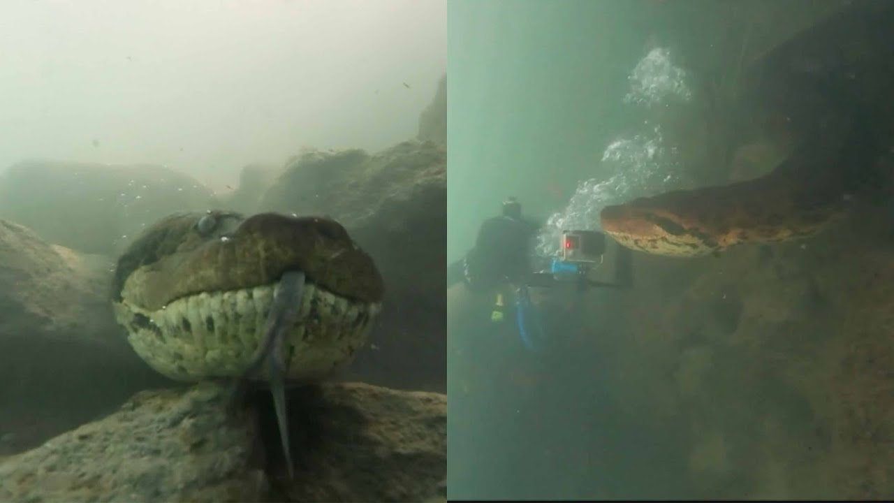 Shocking Video Shows Diver Coming Face-To-Face With Giant Seven-Meter-Long Anaconda