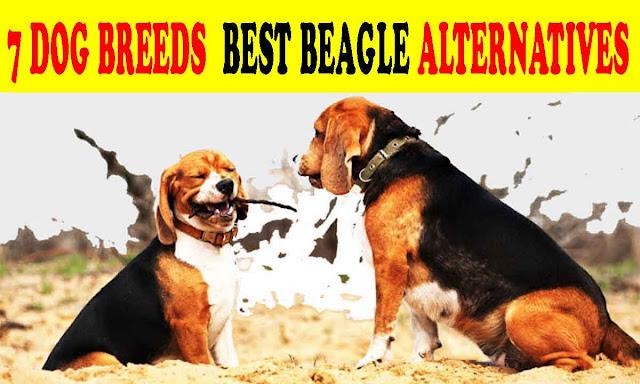 7 Dog breeds similar to beagles best beagle alternatives