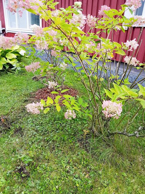 syyskuu hortensia syyshortensia pensas kuorikate