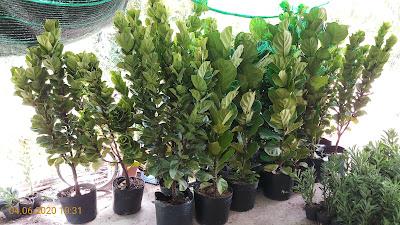 Cây bàng Singapore cỡ lớn (cao 1,8 - 2m) trồng chậu C12