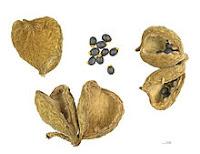 Плоды и семена Sterculia setigera