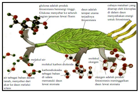 Proses terjadinya fotosintesis pada daun