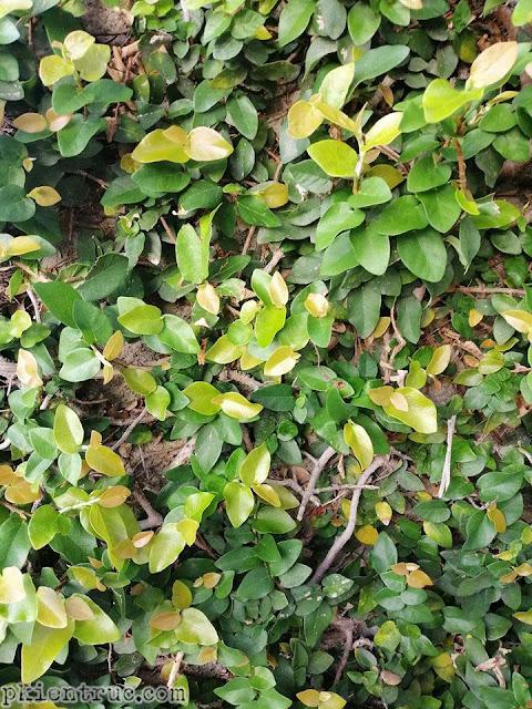 Cận cảnh màu lá non cây Ficus pumila có màu hồng