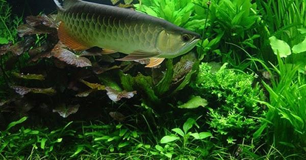 Cara Merawat Ikan Arwana Agar Cepat Besar Dan Warna Sisiknya Muncul Mag Fish
