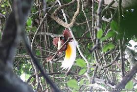 Lesser Birds of Paradise Birds (Paradisaea minor)