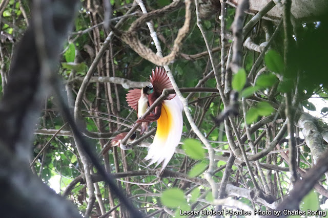Lesser Birds of Paradise Birds (Paradisaea minor)