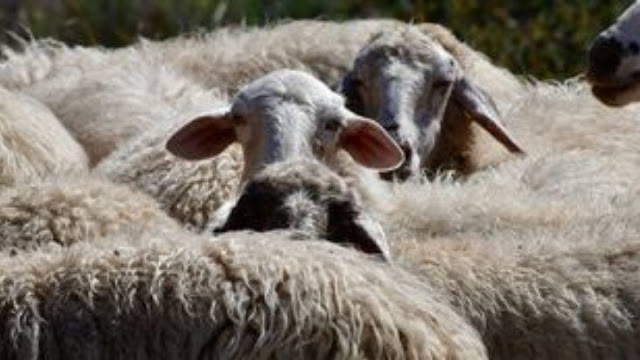 Κρούσματα καταρροϊκού πυρετού σε πρόβατα στην Αρκαδία