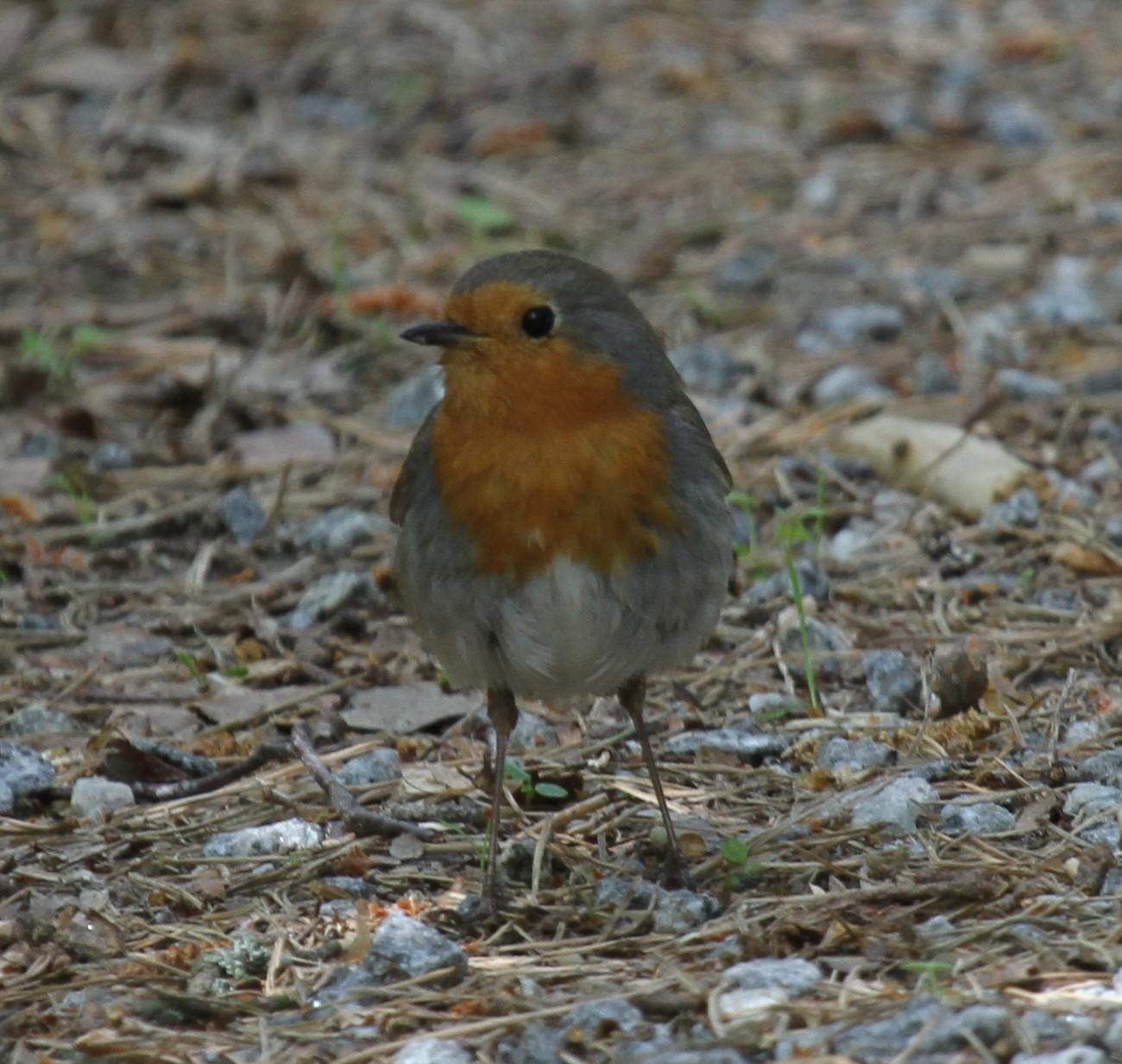 Miksi Linnut Laulavat