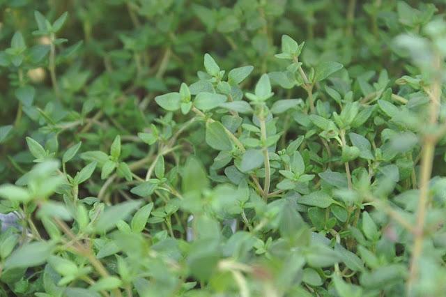 Thymus_vulgaris_4zz.jpg