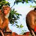 Preocupante robo: monos se llevaron muestras de coronavirus en India