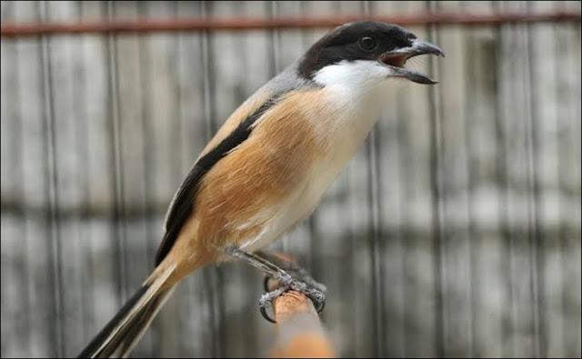 Tips merawat burung agar sehat dan gacor sepanjang hari