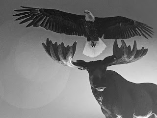 Bald Eagle Over Moose