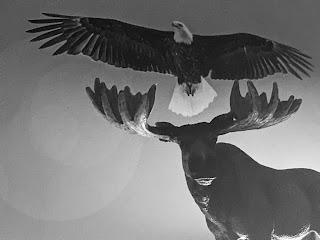 Bald Eagle Over Moose