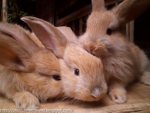 Cute red bunnies.