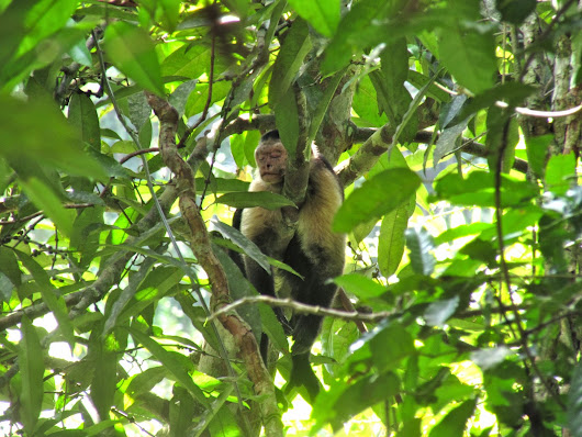 Studying the White-Faced Capuchins