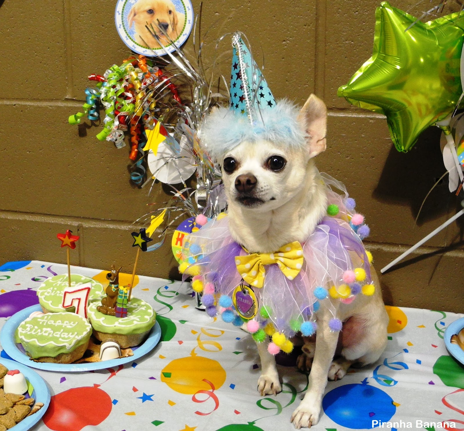 chihuahua birthday A Day in the Life of Piranha Banana: WW: Chihuahua Birthday Party! chihuahua birthday