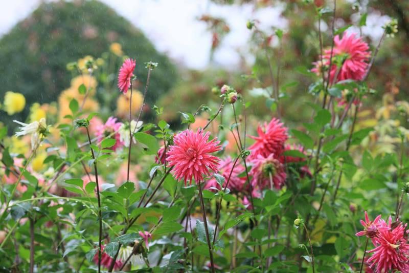 Flores de Dahlia en Jardin Claude Monet en Giverny en otoño