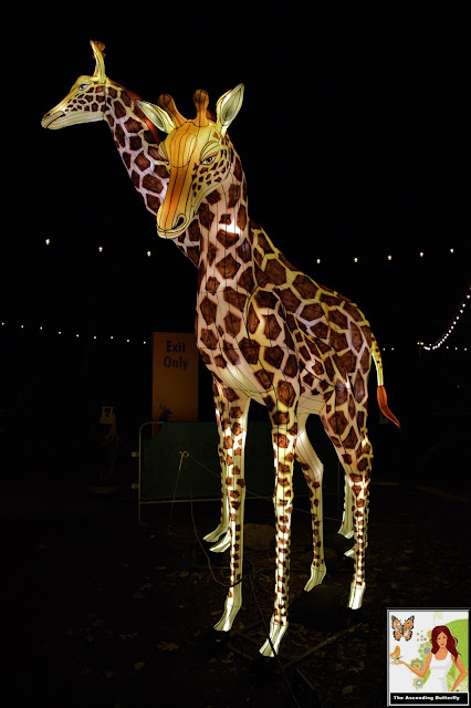 Illuminated Giraffes Bronx Zoo Holiday of Lights 2019