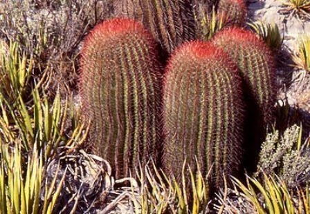 Khasiat Kaktus Untuk Kesehatan Dan Kecantikan