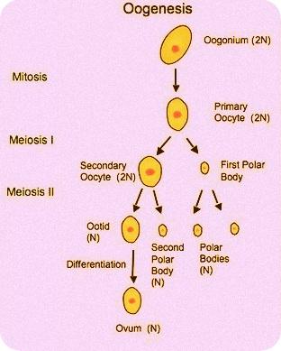 Proses Meluruhnya Sel Sel Epitel Yang Menyusun Dinding Rahim Disebut : proses, meluruhnya, epitel, menyusun, dinding, rahim, disebut, Proses, Meluruhnya, Epitel, Menyusun, Dinding, Rahim, Disebut, Sebutkan
