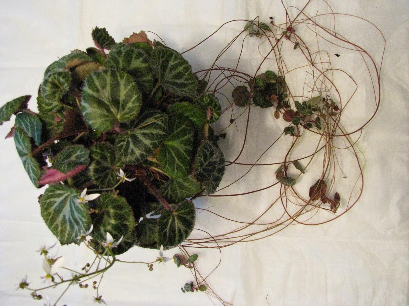 Strawberry Begonias Is Strawberry Geranium And Saxifragea Stolonifera