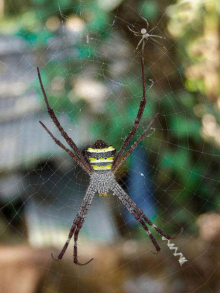 Arachnids: Argiope pulchella at Nayikayam Thattu