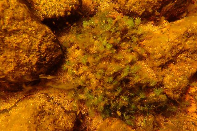 Pikkuriikkisiä vesisammalia kivellä veden alla
