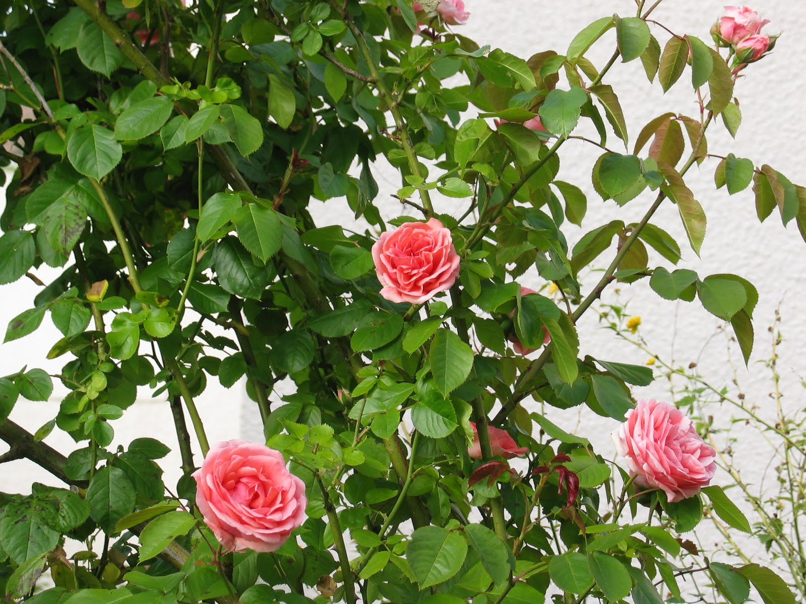 le blog de cathnounourse le langage des roses. Black Bedroom Furniture Sets. Home Design Ideas