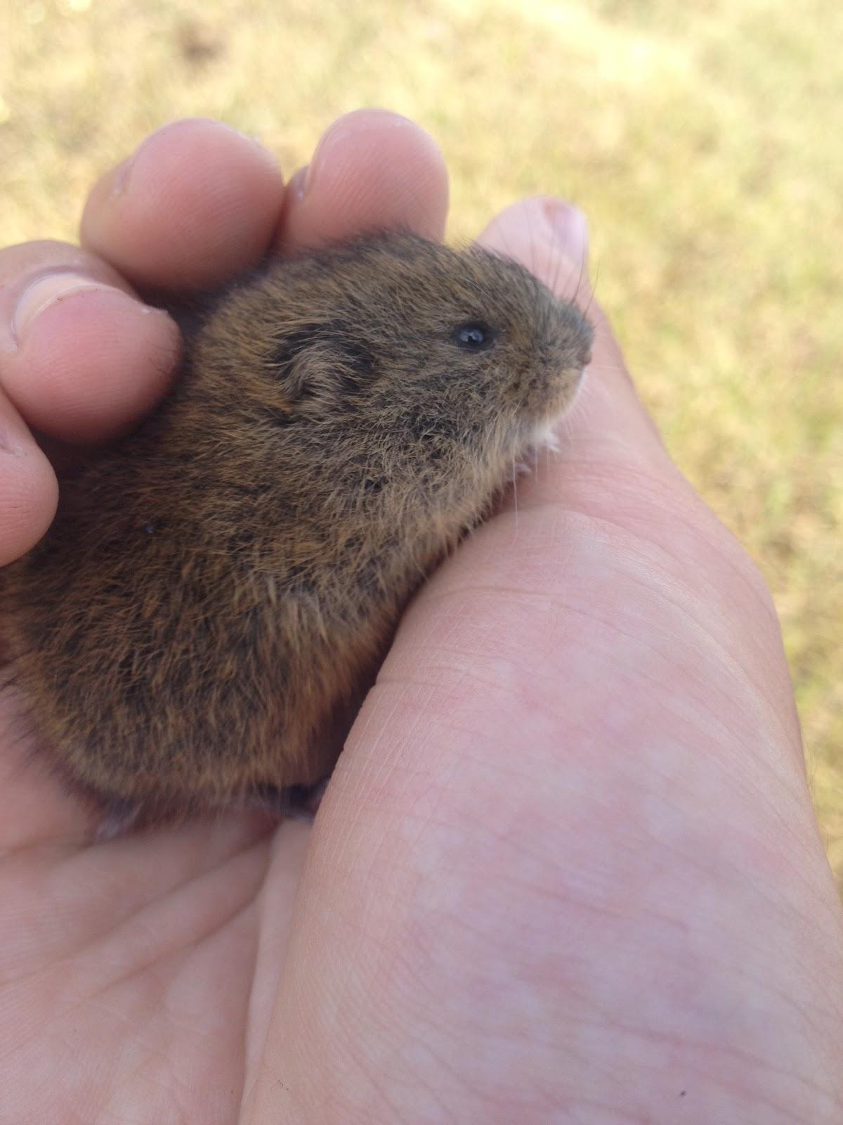 Baby lemming