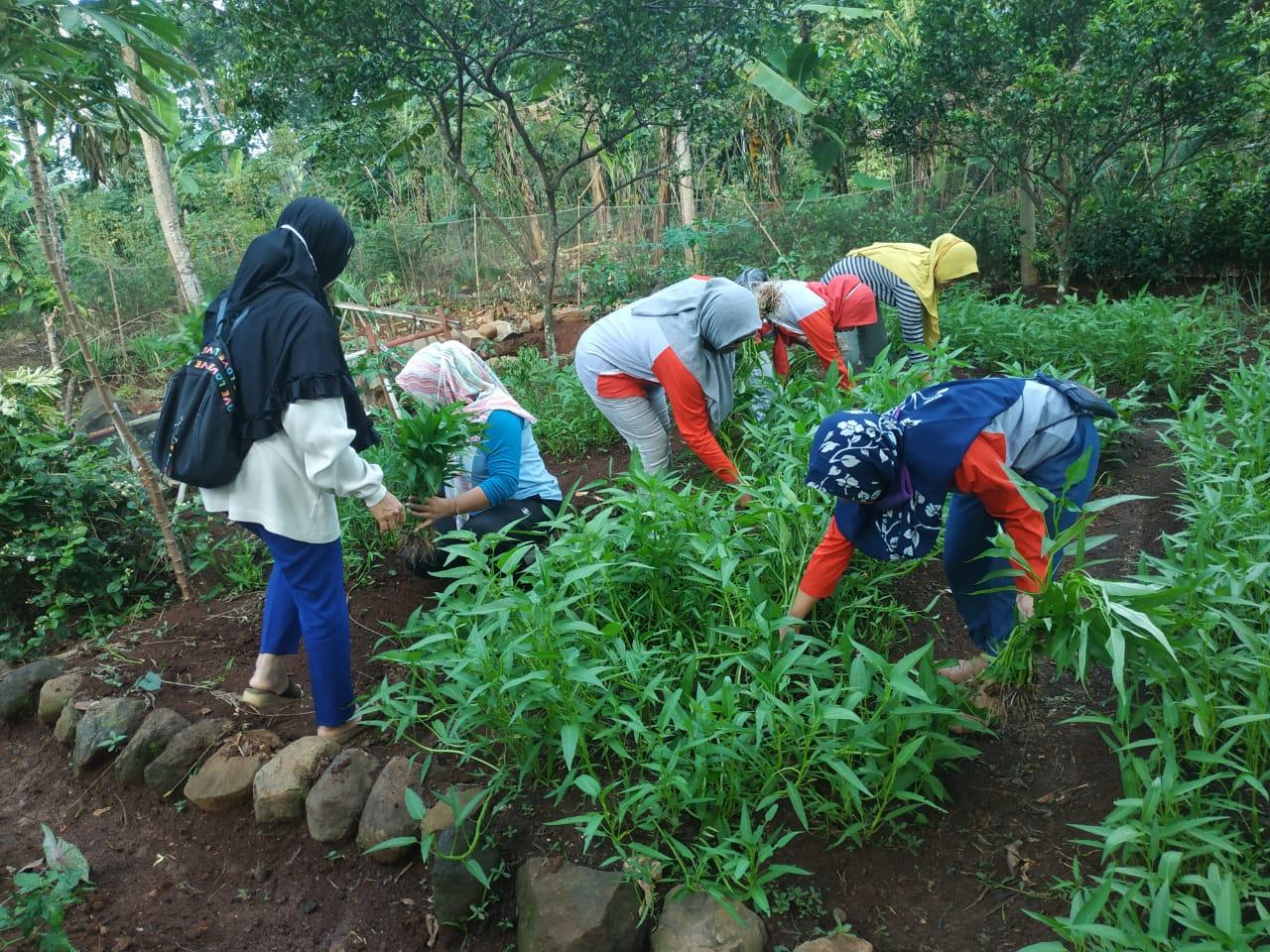 Dari Gunungpati, Panen Perdana Sayuran Kolaborasi BMH-KGK Berlangsung Ceria